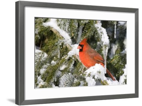 Northern Cardinal on Serbian Spruce in Winter, Marion, Illinois, Usa-Richard ans Susan Day-Framed Art Print