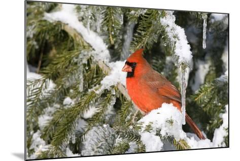 Northern Cardinal on Serbian Spruce in Winter, Marion, Illinois, Usa-Richard ans Susan Day-Mounted Photographic Print