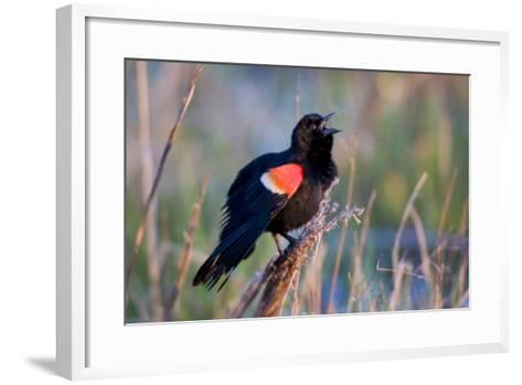 Red-Winged Blackbird Male Singing in Wetland Marion, Illinois, Usa-Richard ans Susan Day-Framed Art Print