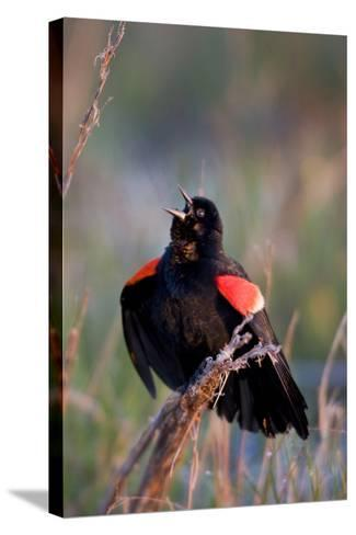Red-Winged Blackbird Male Singing in Wetland Marion, Illinois, Usa-Richard ans Susan Day-Stretched Canvas Print