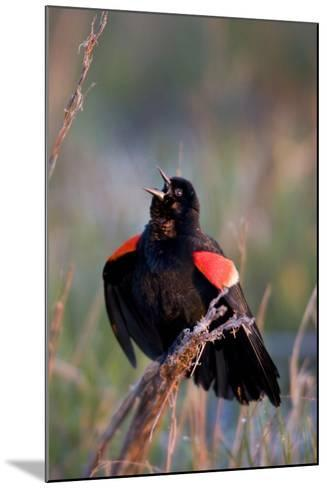 Red-Winged Blackbird Male Singing in Wetland Marion, Illinois, Usa-Richard ans Susan Day-Mounted Photographic Print
