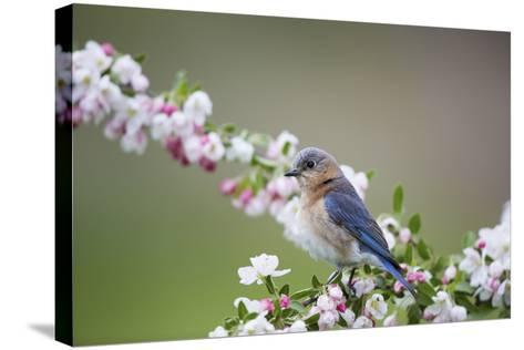 Eastern Bluebird Female in Crabapple Tree, Marion, Illinois, Usa-Richard ans Susan Day-Stretched Canvas Print