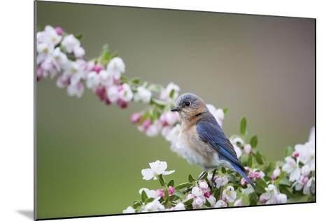 Eastern Bluebird Female in Crabapple Tree, Marion, Illinois, Usa-Richard ans Susan Day-Mounted Photographic Print