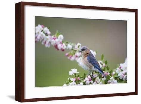 Eastern Bluebird Female in Crabapple Tree, Marion, Illinois, Usa-Richard ans Susan Day-Framed Art Print
