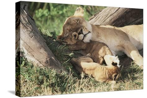 Kenya, Maasai Mara Game Reserve, Mother Lion Playing with Cubs-Kent Foster-Stretched Canvas Print