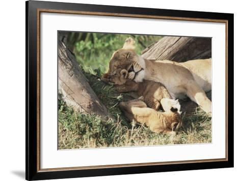 Kenya, Maasai Mara Game Reserve, Mother Lion Playing with Cubs-Kent Foster-Framed Art Print
