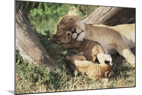 Kenya, Maasai Mara Game Reserve, Mother Lion Playing with Cubs-Kent Foster-Mounted Photographic Print