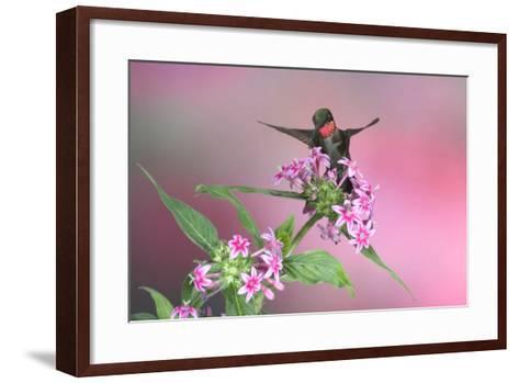 Ruby-Throated Hummingbird Male on Pink Pentas. Marion, Illinois, Usa-Richard ans Susan Day-Framed Art Print