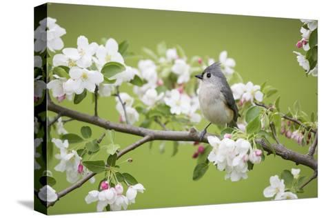 Tufted Titmouse in Crabapple Tree in Spring. Marion, Illinois, Usa-Richard ans Susan Day-Stretched Canvas Print