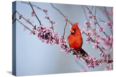 Northern Cardinal Male in Eastern Redbud, Marion, Illinois, Usa-Richard ans Susan Day-Stretched Canvas Print