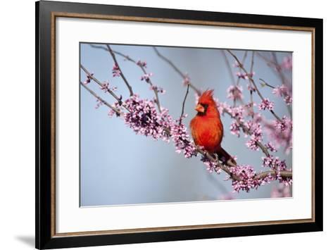Northern Cardinal Male in Eastern Redbud, Marion, Illinois, Usa-Richard ans Susan Day-Framed Art Print