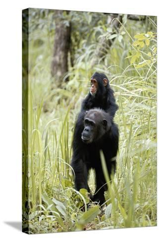 Tanzania, Gombe Stream NP, Chimpanzee with Her Baby on Her Back-Kristin Mosher-Stretched Canvas Print