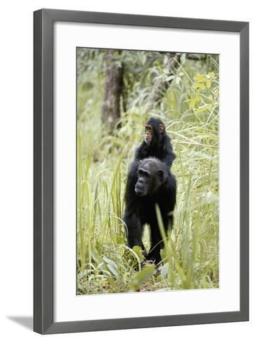 Tanzania, Gombe Stream NP, Chimpanzee with Her Baby on Her Back-Kristin Mosher-Framed Art Print