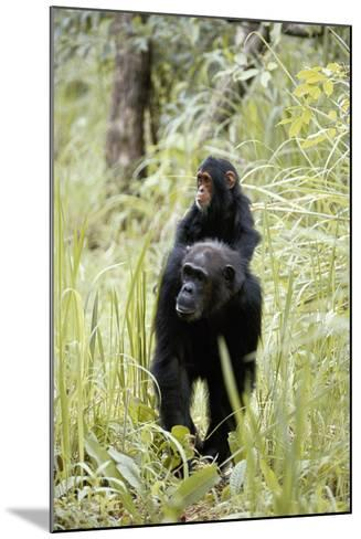 Tanzania, Gombe Stream NP, Chimpanzee with Her Baby on Her Back-Kristin Mosher-Mounted Photographic Print