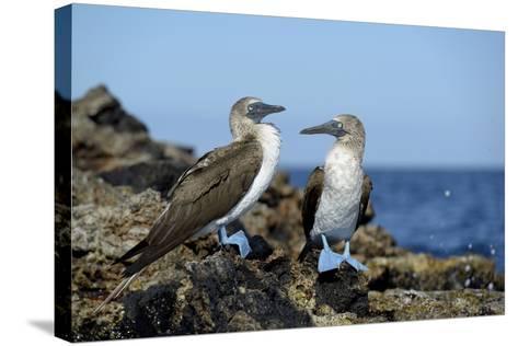 Ecuador, Galapagos, Isabela Island, Punta Moreno. Blue-Footed Booby-Kevin Oke-Stretched Canvas Print
