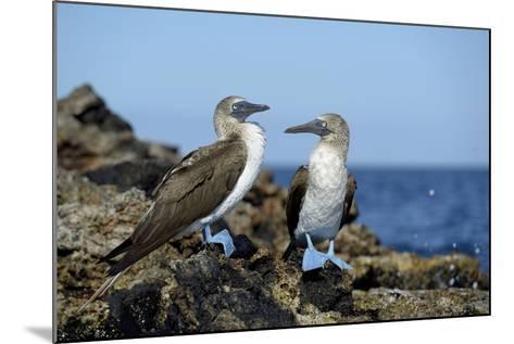 Ecuador, Galapagos, Isabela Island, Punta Moreno. Blue-Footed Booby-Kevin Oke-Mounted Photographic Print