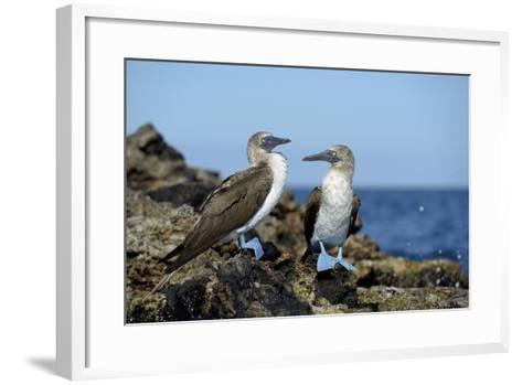 Ecuador, Galapagos, Isabela Island, Punta Moreno. Blue-Footed Booby-Kevin Oke-Framed Art Print