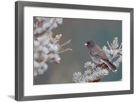 Dark-Eyed Junco in Spruce Tree in Winter Marion, Illinois, Usa-Richard ans Susan Day-Framed Art Print