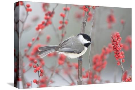Carolina Chickadee in Common Winterberry Marion, Illinois, Usa-Richard ans Susan Day-Stretched Canvas Print