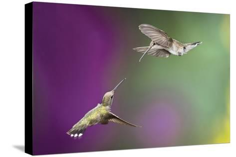 USA, Arizona, Madera Canyon. Two Female Hummingbirds in Flight-Jaynes Gallery-Stretched Canvas Print
