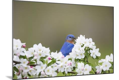 Eastern Bluebird Male in Crabapple Tree, Marion, Illinois, Usa-Richard ans Susan Day-Mounted Photographic Print
