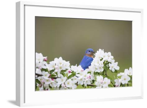 Eastern Bluebird Male in Crabapple Tree, Marion, Illinois, Usa-Richard ans Susan Day-Framed Art Print