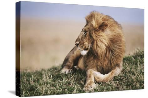 Kenya, Maasai Mara National Reserve, Lion Resting in Grass-Kent Foster-Stretched Canvas Print