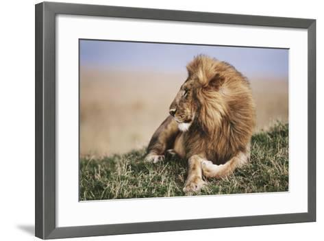 Kenya, Maasai Mara National Reserve, Lion Resting in Grass-Kent Foster-Framed Art Print