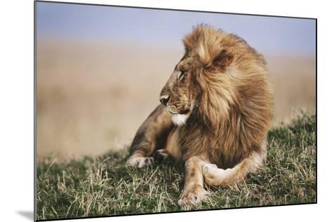 Kenya, Maasai Mara National Reserve, Lion Resting in Grass-Kent Foster-Mounted Photographic Print