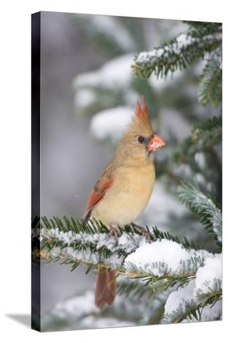 Northern Cardinal in Balsam Fir Tree in Winter, Marion, Illinois, Usa-Richard ans Susan Day-Stretched Canvas Print