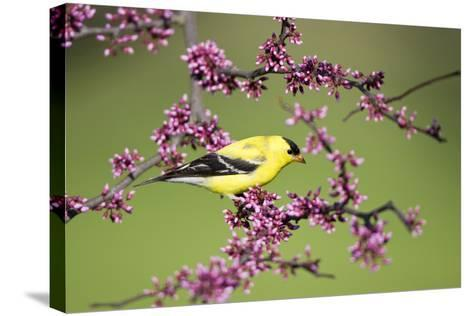 American Goldfinch Male in Eastern Redbud Tree Marion, Illinois, Usa-Richard ans Susan Day-Stretched Canvas Print