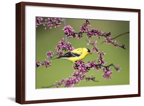 American Goldfinch Male in Eastern Redbud Tree Marion, Illinois, Usa-Richard ans Susan Day-Framed Art Print