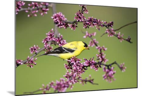 American Goldfinch Male in Eastern Redbud Tree Marion, Illinois, Usa-Richard ans Susan Day-Mounted Photographic Print