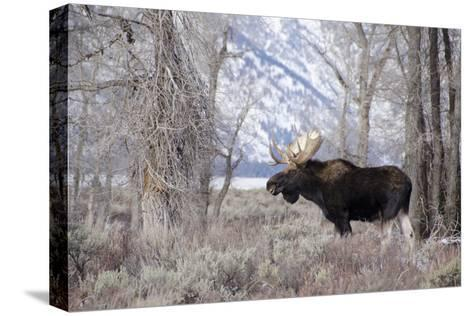 Moose in the Teton Mountains, Grand Teton NP, WYoming-Howie Garber-Stretched Canvas Print