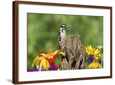 Downy Woodpecker Male on Snag , Marion, Illinois, Usa-Richard ans Susan Day-Framed Art Print