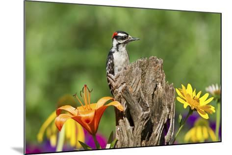 Downy Woodpecker Male on Snag , Marion, Illinois, Usa-Richard ans Susan Day-Mounted Photographic Print