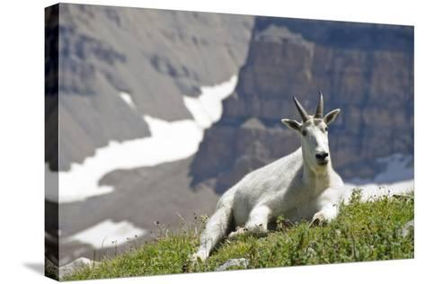 Mountain Goat, Mount Timpanogos Wilderness, Wasatch Mountains, Utah-Howie Garber-Stretched Canvas Print