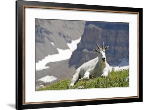 Mountain Goat, Mount Timpanogos Wilderness, Wasatch Mountains, Utah-Howie Garber-Framed Art Print