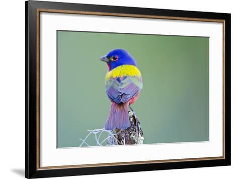 USA, Florida, Immokalee, Male Painted Bunting Perched on Branch-Bernard Friel-Framed Art Print