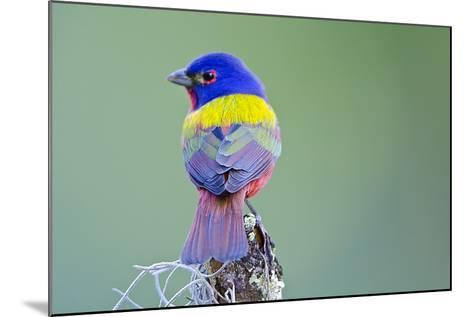 USA, Florida, Immokalee, Male Painted Bunting Perched on Branch-Bernard Friel-Mounted Photographic Print