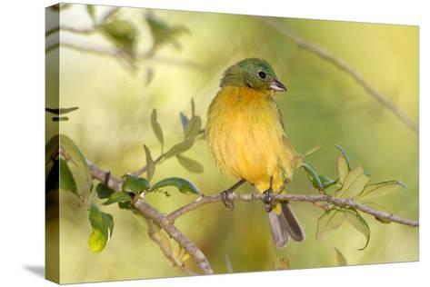 USA, Florida, Immokalee, Male Painted Bunting Perched on Branch-Bernard Friel-Stretched Canvas Print