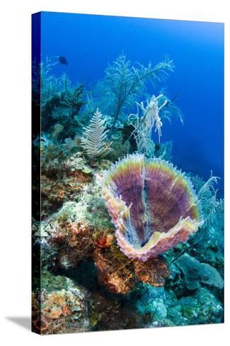 Azure Vase Sponge, Jardines De La Reina National Park Cuba, Caribbean-Pete Oxford-Stretched Canvas Print