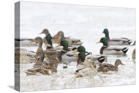 Mallards in Wetland in Winter, Marion, Illinois, Usa-Richard ans Susan Day-Stretched Canvas Print