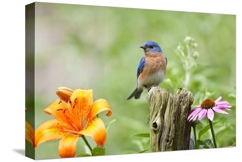 Eastern Bluebird Male on Fence Post, Marion, Illinois, Usa-Richard ans Susan Day-Stretched Canvas Print