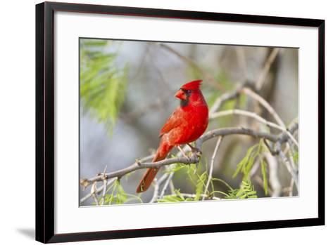 Northern Cardinal Male Starr, Texas, Usa-Richard ans Susan Day-Framed Art Print