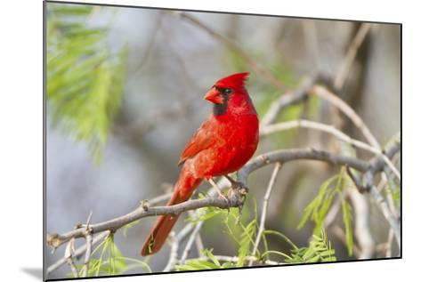 Northern Cardinal Male Starr, Texas, Usa-Richard ans Susan Day-Mounted Photographic Print