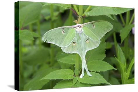 Luna Moth, Marion Co. Il-Richard ans Susan Day-Stretched Canvas Print