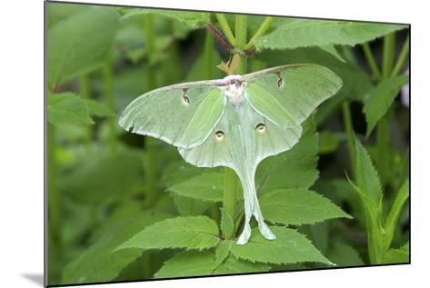 Luna Moth, Marion Co. Il-Richard ans Susan Day-Mounted Photographic Print