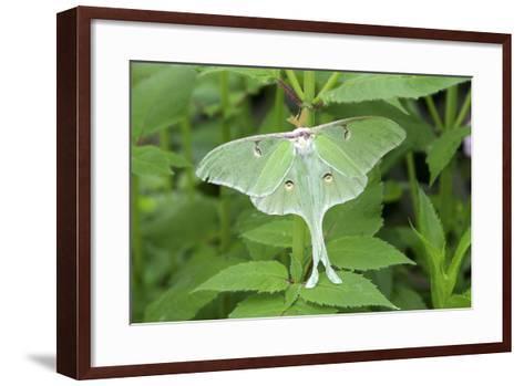 Luna Moth, Marion Co. Il-Richard ans Susan Day-Framed Art Print