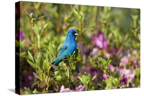 Indigo Bunting Male in Azalea Bush. Marion, Illinois, Usa-Richard ans Susan Day-Stretched Canvas Print